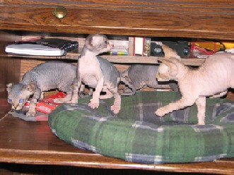sphynx kittens, sphinx kittens, sphynx, sphinx, sphynx cats